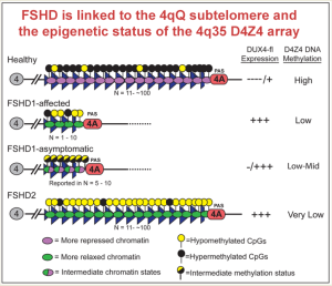 The D4Z4 repeat region at location 4q35 on chromosome 4 differs markedly among healthy, FSHD1, and FSHD2 individuals. Healthy individuals have numerous D4Z4 repeats which are highly methylated (black dots). FSHD1-affected individuals have few repeats, and these are hypomethylated (light dots). FSHD1 non-manifesting, or unaffected, individuals, also have few repeats, but these have higher methylation (half-filled dots). FSHD2 individuals have many D4Z4 repeats, like healthy individuals, but they are severely hypomethylated. (Figure courtesy of Peter Jones, PhD.)